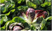 Семена салата Гиове F1, 5000 шт, Enza Zaden