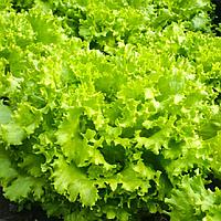 Семена салата Фанли F1 Syngenta 5 000 шт