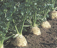 Семена сельдирея Балена, 10000 шт, Bejo