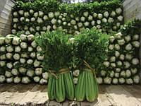 Семена сельдирея Танго , 10000 шт, Bejo
