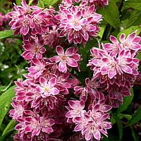 Дейція гібридна «Strawberry Fields» 15-25 см, 2-літки, фото 1