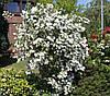 Дейція шорстка «Candidissima» 20-30 см, з грудкою землі