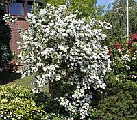 Дейція шорстка «Candidissima» 20-30 см, з грудкою землі, фото 1