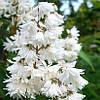 Дейция шершавая «Candidissima» 30-60 см, 2-3-летки