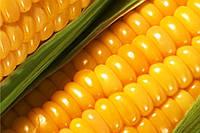 Кукуруза ЕС Сигма