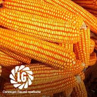 Cемена кукурузы Аалвито (Aalvito)