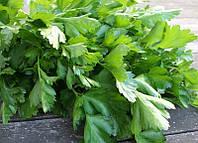 Петрушка семена для выгонки зелени с продажей продукции на рынках и приготовления блюд и салатов в кулинарии