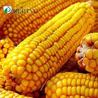 Раннеспелый гибрид кукурузы НС-2012 от компании Нертус