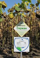 Семена подсолнечника ( Нертус ) Сержан элит 2015г