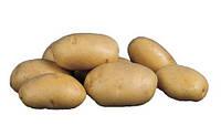 Картофель ультраранний семенной