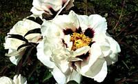 Півонія деревоподібна Біла 2 річна, Пион Древовидный белый, Paeonia x suffruticosa