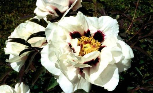 Півонія деревоподібна Біла 2 річна, Пион Древовидный белый, Paeonia x suffruticosa, фото 2