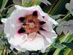 Півонія деревоподібна Біла 2 річна, Пион Древовидный белый, Paeonia x suffruticosa, фото 3