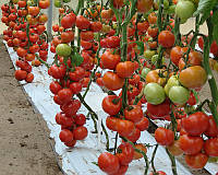 Семена томата индетерминантного Белле F1, от 10 шт, Enza Zaden