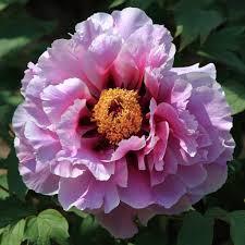 Півонія деревоподібна Рожева 3-4 річна, Пион Древовидный розовый, Paeonia x suffruticosa
