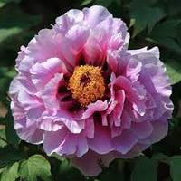Півонія деревоподібна Рожева 2 річна, Пион Древовидный розовый, Paeonia x suffruticosa