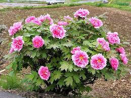 Півонія деревоподібна Рожева 3-4 річна, Пион Древовидный розовый, Paeonia x suffruticosa, фото 2