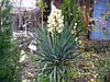 Юкка нитчата 3 річна , Юкка нитчатая / Юка нитчатая, Yucca filamentosa  , фото 2
