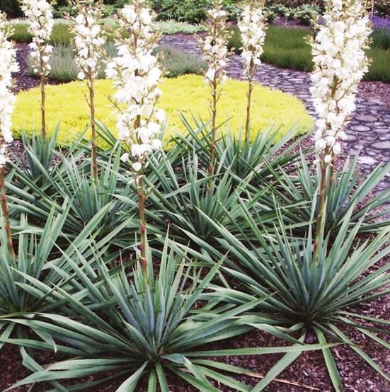 Юкка нитчата 3 річна , Юкка нитчатая / Юка нитчатая, Yucca filamentosa