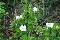 Лапчатка кустарниковая белая (курильский чай)