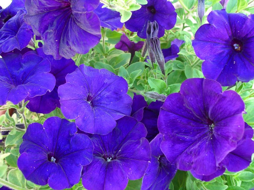 Петуния крупноцветковая Синяя 50-100 семян
