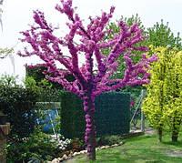 Церціс канадський 1 річний, Церцис / церсис канадский / иудино / иудово дерево, Cercis canadensis