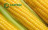 Семена кукурузы Анжело от Саатбау Линц (Saatbau®)