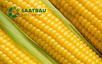 Семена кукурузы Амальди от Саатбау Линц (Saatbau®)