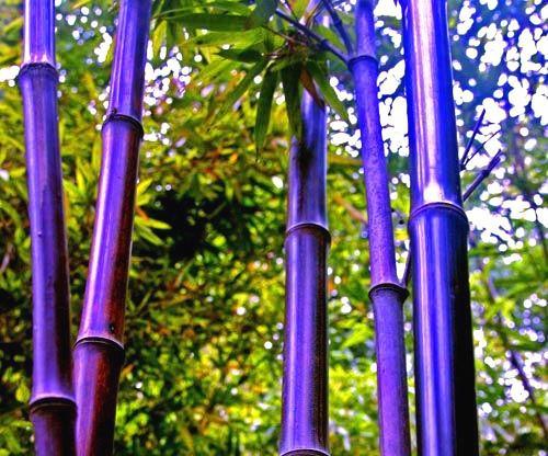 Семена бамбука - многоцветный фиолетовый Zizhu