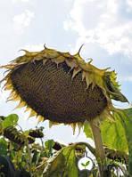 Семена простого гибрида подсолнечника Альзан (Украина) Альфа Химгрупп