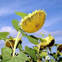 Семена простого гибрида подсолнечника ТЕРРА (Украина) АльфаХимгрупп