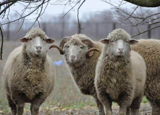 Выращивать овец на мясо гораздо выгоднее, чем на шерсть, — эксперты