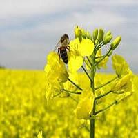 Семена озимого и ярового рапса