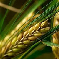 Семена озимого и ярового ячменя