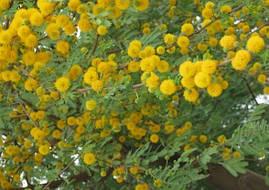 Акація Фарнеза 1 річна, Акация Фарнеза, Acacia farnesianа, фото 3