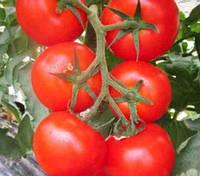 Томат Анетта F1 (CRX 78288) 1000 сем. Cora Seeds