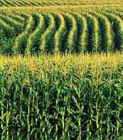 Тесла новый гибрид кукурузы ВНИС