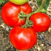 Семена томата Мирсини F1 (100 c)