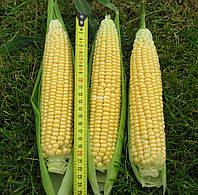 Семена кукурузы Лендмарк F1 (Clause) 10 кг - ранняя (70-73 дня), сахарная. Очень сладкая!!! , фото 1