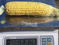 Семена кукурузы Леженд F1 (Clause) 1 кг - ранняя (70 дней), сахарная