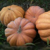 Семена тыквы Мускат де прованс. Упаковка 100 гр. Производитель Clause