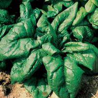 Семена шпината Лагос F1. Упаковка 250 гр. Производитель Clause