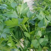 Семена петрушки Новас