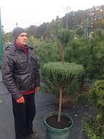 Можжевельник скальный Блю Эрроу Juniperus scopulorum Blue Arrow