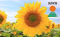 Семена подсолнечника КВС Гелия 06 от КВС (KWS)