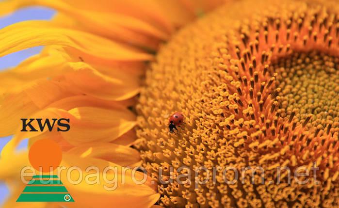 Семена подсолнечника КВС Драгон от КВС (KWS), фото 2