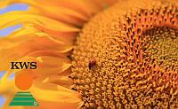 Семена подсолнечника КВС Драгон от КВС (KWS)