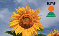 Семена подсолнечника КВС Мондео от КВС (KWS)