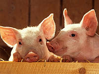 Свинина живым весом – в чем преимущества покупки?