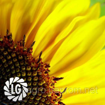 Семена подсолнечника ЛГ 5450 ХО (LG 5450 HO), фото 2